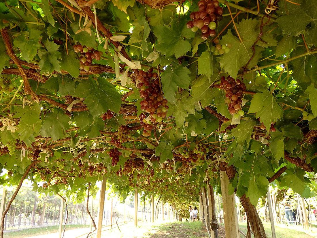 Виноградник Кхао Яй